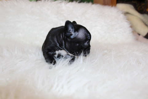 french bulldog puppy for sale near me kansas city Bella (10).JPG