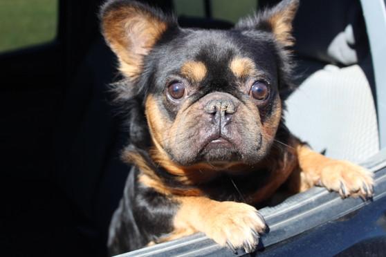 French-bulldog-fluffy-Toto-kansas (5).JPG