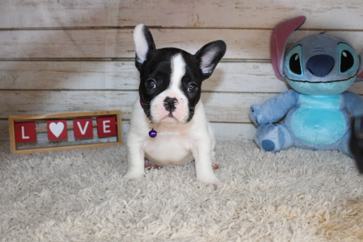 french bulldog puppy for sale near me ka