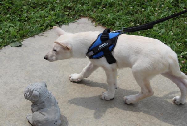 German Shepherd Puppy For Sale Near kansas city Jax (1).JPG