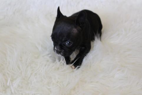 french bulldog puppy for sale near me kansas city Bella (4).JPG