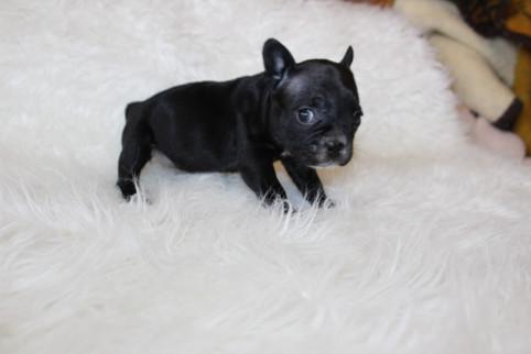 french bulldog puppy for sale near me kansas city Bella (23).JPG