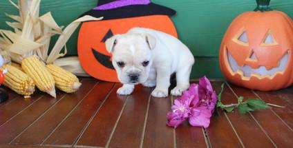 fluffy french bulldog puppy for sale in kansas Lula A (4).JPG