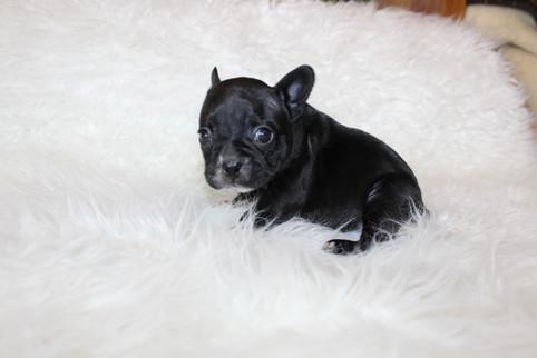 french bulldog puppy for sale near me kansas city Bella (16).JPG