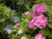 6月からはあじさい祭りが始まります。雨の似合う花ですね♪