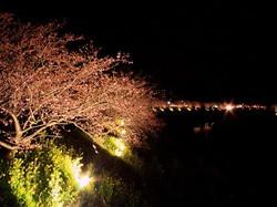 来の宮橋夜桜