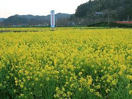 みなみの桜と菜の花まつり ~イベント・渋滞回避情報~