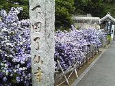 ペリーが黒船を率いてやってきた時に、ここ了仙寺で話し合いが行われ、条約が結ばれました。5月にはにおいばんまつりが咲き誇ります。
