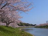 青野川沿いに咲く桜のピンクと菜の花の黄色が鮮やかな光景を見せてくれます。