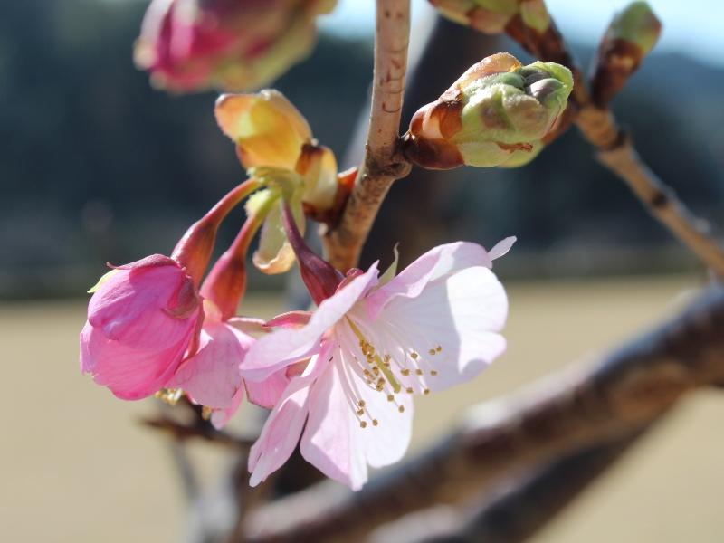 桜のつぼみ 南伊豆