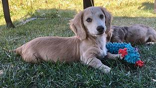 Evergreendox dachshunds AKC miniature long-haired dachshunds for sale in Washington.