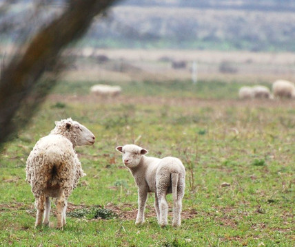 lambs near paintrock.jpg