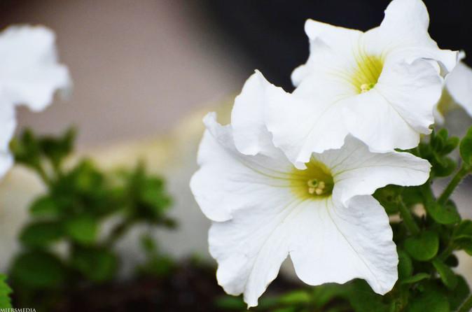 white petunias.jpg
