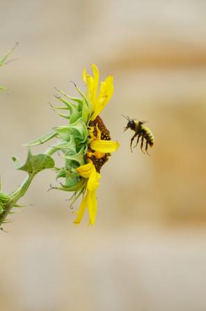 bumble+bee+n+sunflower+MIERS.jpg