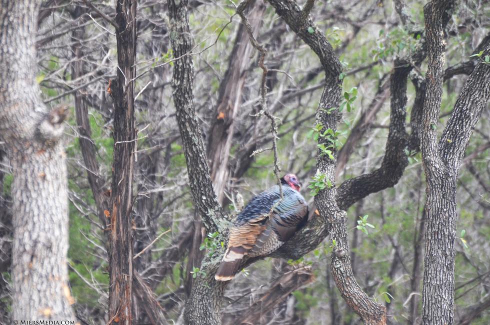 turkey in tree by cmiers.jpg