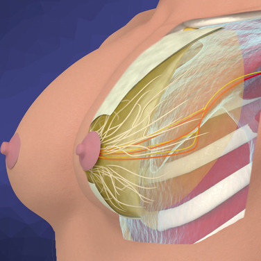 Breast Fascia Structures Animation