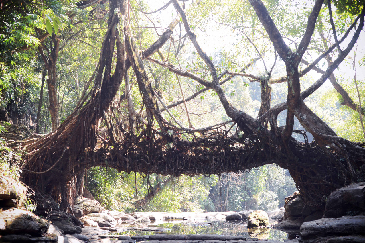 Living root bridges, Meghalaya, Indi