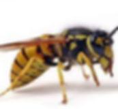 Wasp photo.jpg