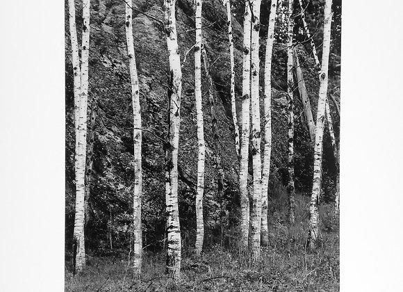 White Birch Custer State Park