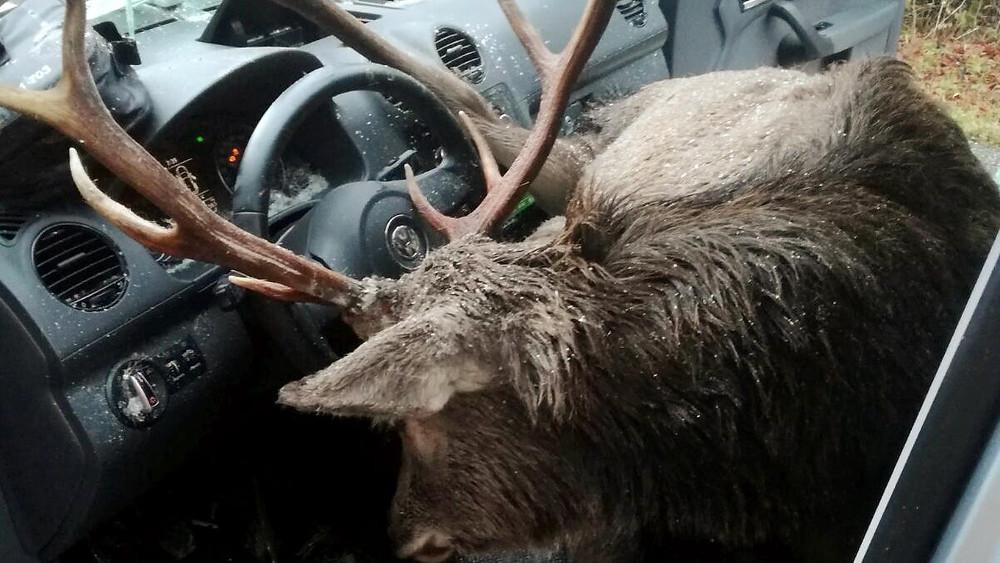 Hirsch im Auto