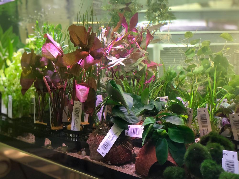 Wasserpflanzen für das Aquarium
