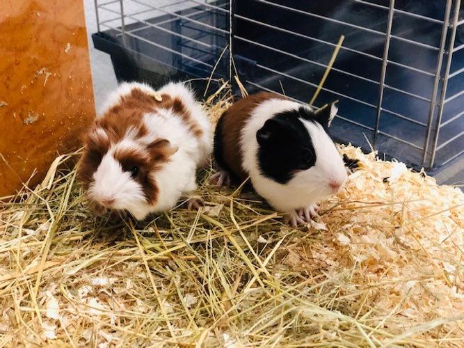 meerschweinchen 2.jpg
