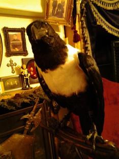 Draven the Raven