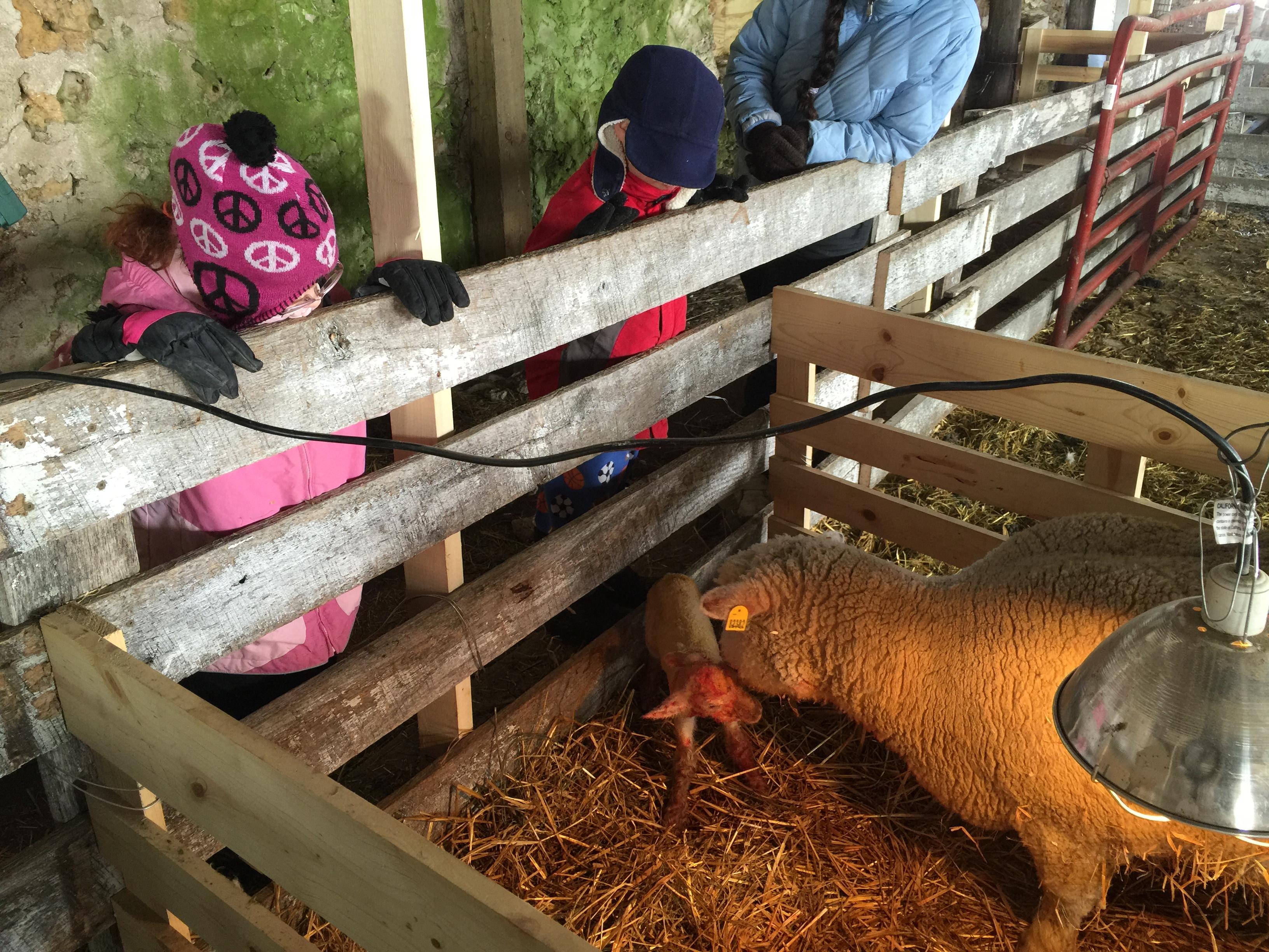 9021 with ewe lamb
