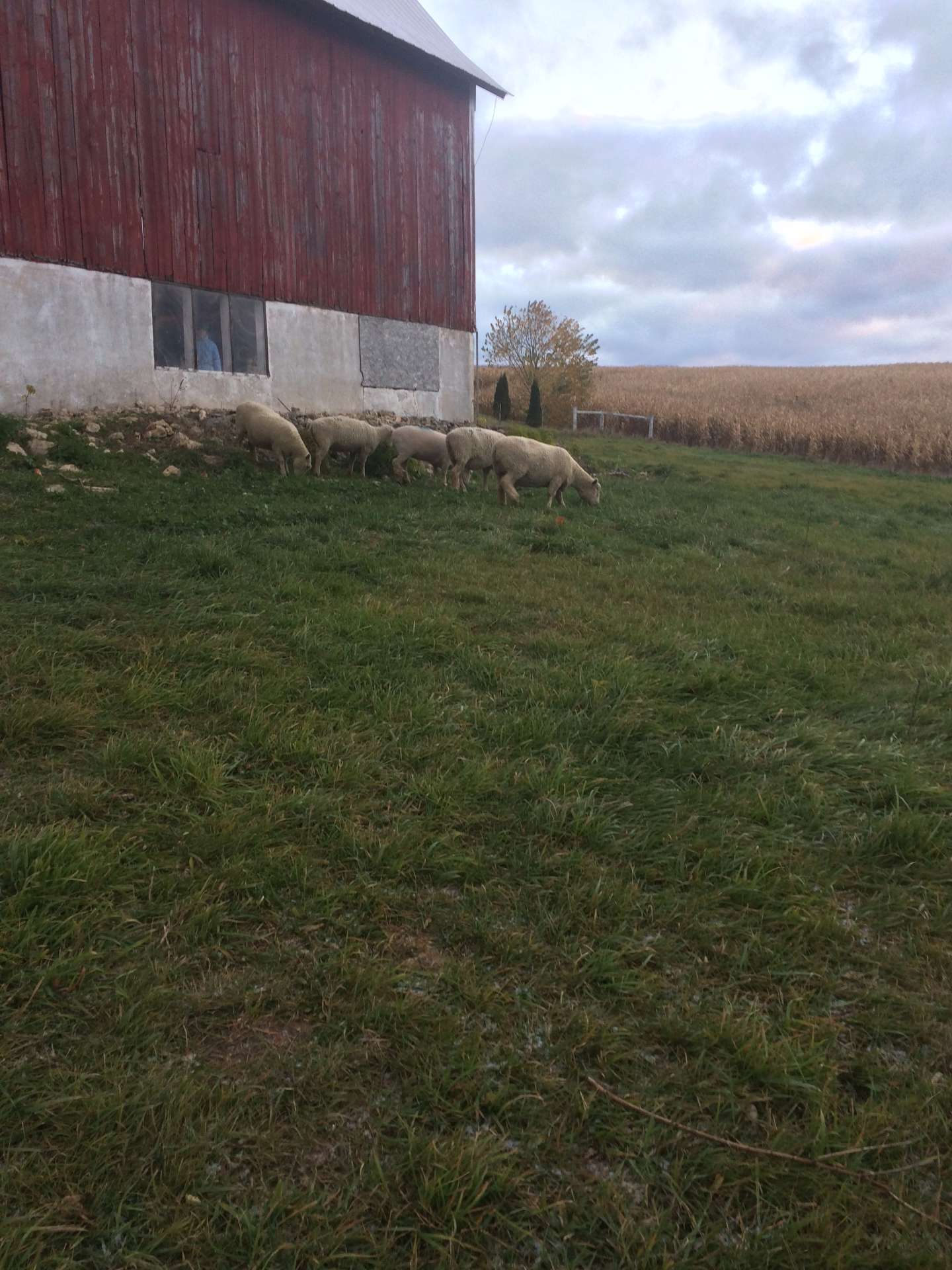 Ewes in yard