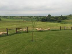 Flock grazing pasture