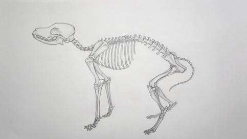 Canine skeloton study