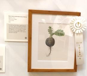 People's Choice third place award went to Asuka Hishiki's, Black Daikon Radish (Kuromaru Daikon), Raphanus sativus, watercolor on paper, © 2015 Asuka Hishiki, all rights reserved.