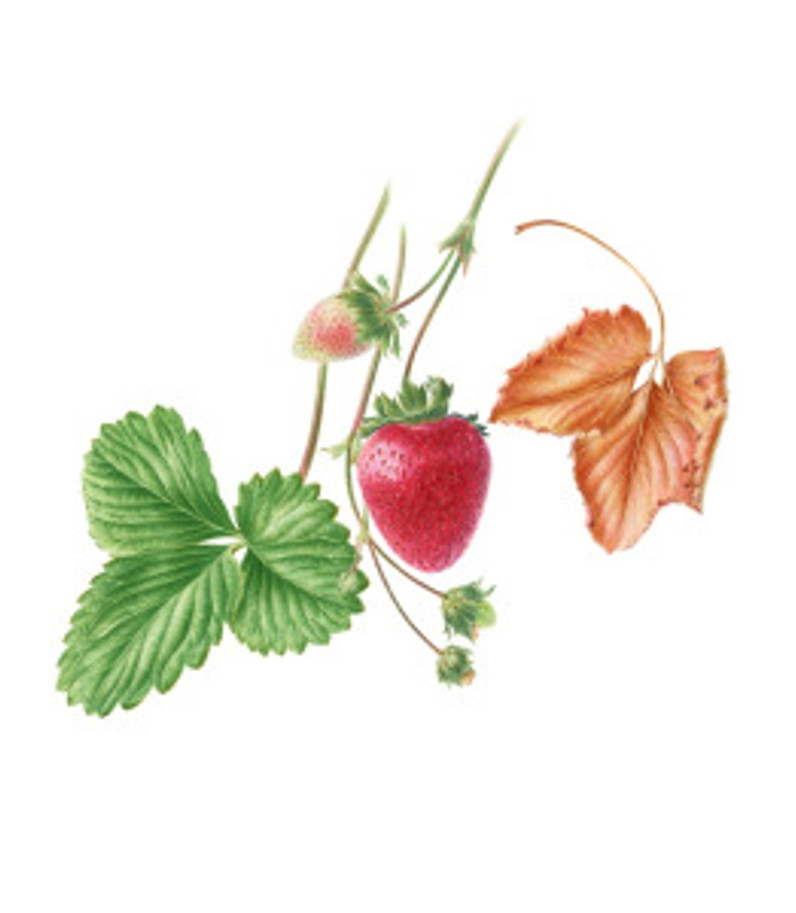 Fragaria x ananassa, Strawberry, watercolor by John Pastoriza-Piñol, © 2016.