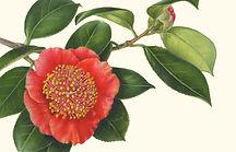 """detail of C. japonica 'Hi-no-maru' (Higo) and 'Otahaku' (Higo), © 2019, from """"Plants of Asia"""" exhibition."""
