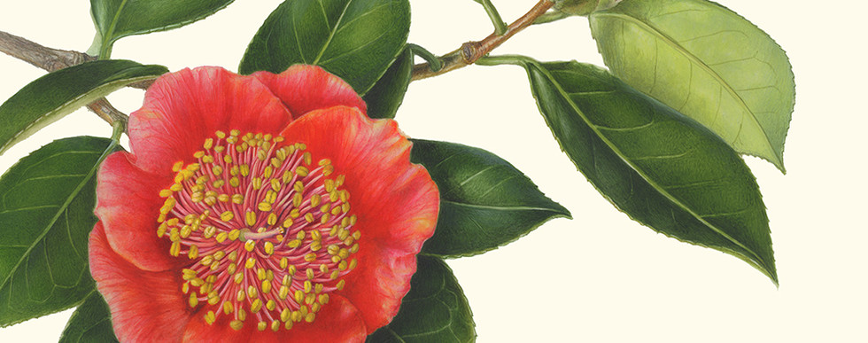 Akiko Enokido Camellia japonica 'Hi-no-maru' (Higo)
