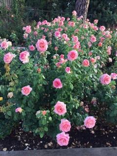 'Tania Norris' roses in full bloom. © Tania Norris, 2014.
