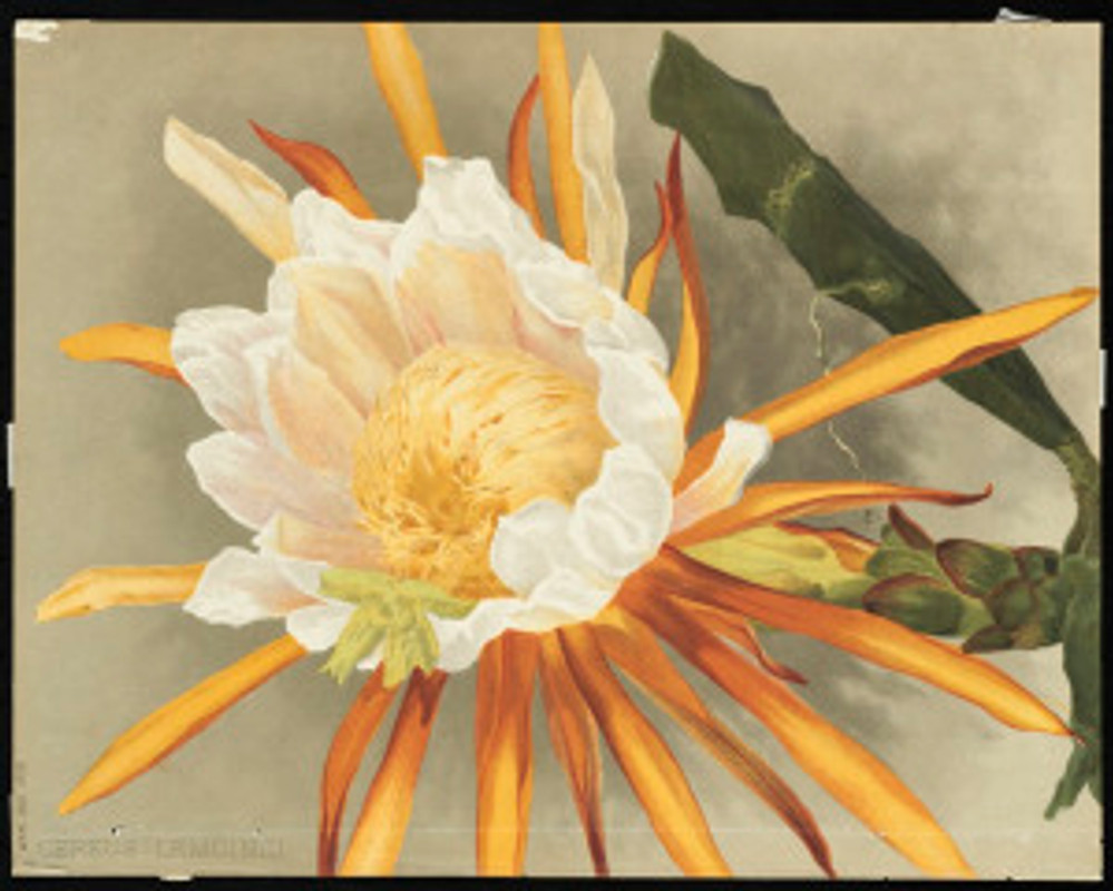 """""""Cereus,"""" by Mrs. William Duffield, 1892. Massachusetts Horticultural Society Library, Box 9, Repros (shelf locator). Gift of Mrs. Fiske Warren, March, 1943. Permalink: http://ark.digitalcommonwealth.org/ark:/50959/0p097c160  This work is licensed for use under a Creative Commons Attribution Non-Commercial No Derivatives License (CC BY-NC-ND)."""