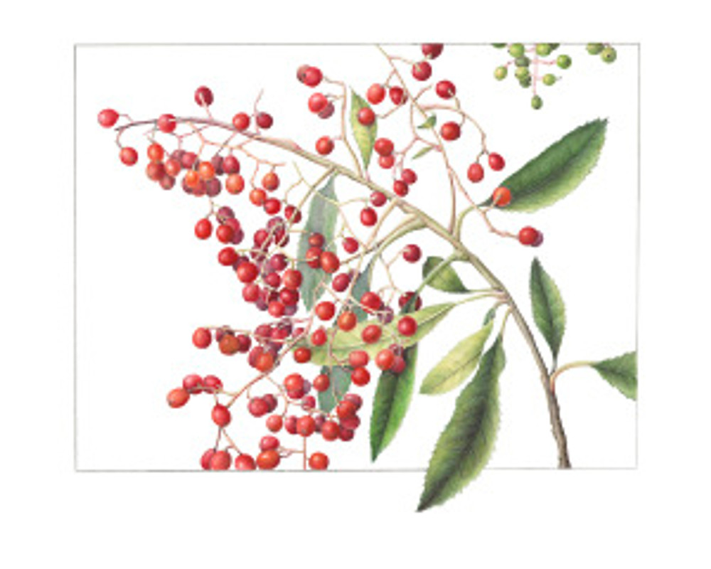 Third place Peoples' Choice award: Heteromeles arbutifolia, Toyon by Gilly Shaeffer, © 2015, all rights reserved.