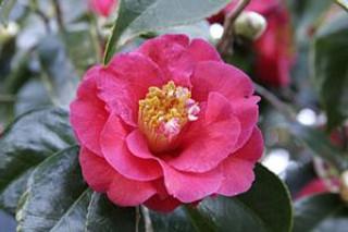 "Call for Entries for BAGSC ""Camellias"" Exhibition"