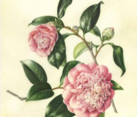 Are you Painting Camellias?