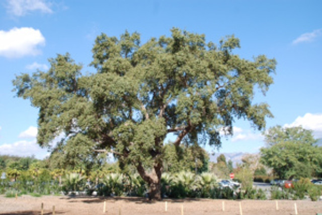Quercus suber, Cork oak tree, from looking at trees with Jim Folsom. Photo credit: © 2015, Alyse Ochniak, all rights reserved.