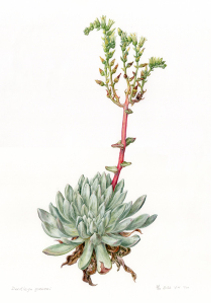 Dudleya greenei, watercolor by Ellie Tu, © 2016, all rights reserved.