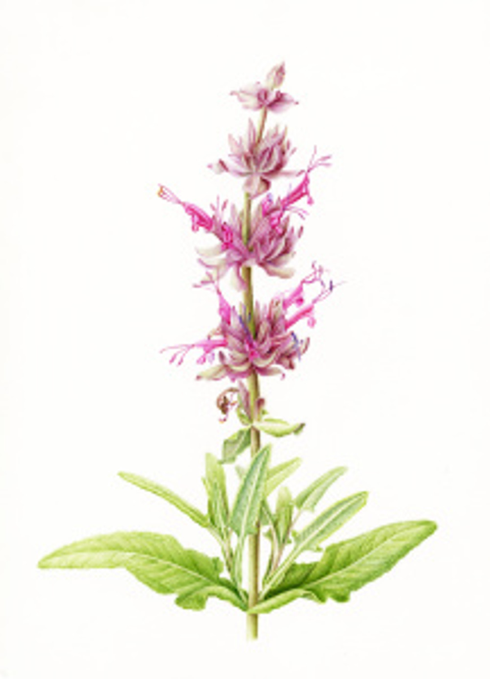 Salvia spathacea, watercolor on paper by Joan Keesey, © 2016, all rights reserved.