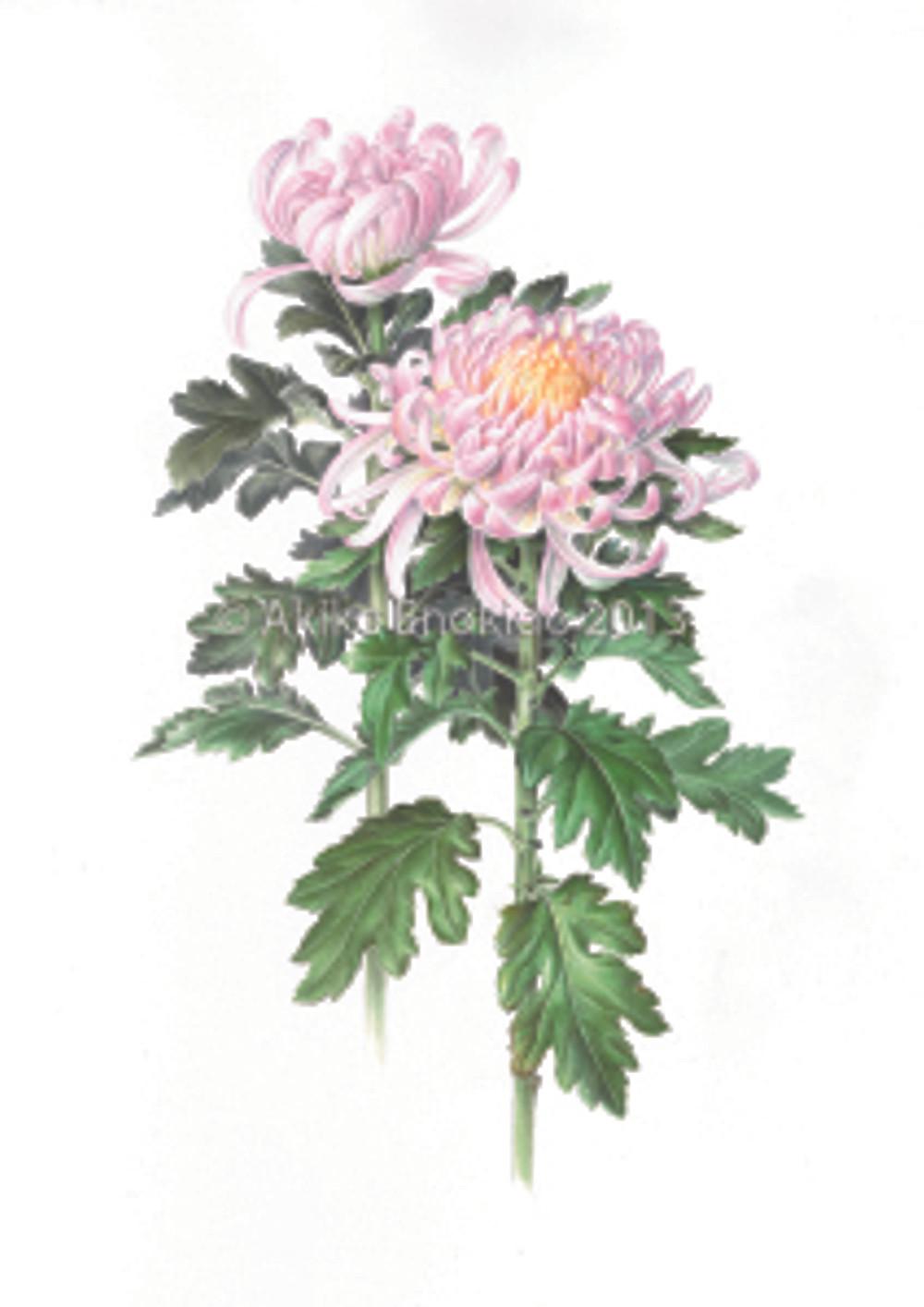 "Akiko Enokido, Chrysanthemum morifolium ""Kokka Seija"
