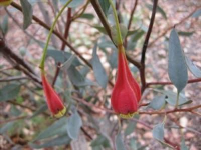 Eucalyptus forrestiana, photo courtesy of Australian Native Plants, © 2016.
