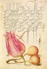 """Insect, Tulip, Caterpillar, Spider, Pear, Joris Hoefnagel, Illuminator; Georg Bocskay, scribe. From the """"Gardens of the Renaissance"""" exhibition. © 2013, The J. Paul Getty Museum, Los Angeles."""