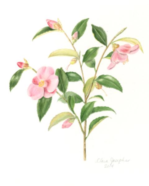 Minato-no-haru Camellia, Clara Josephs, watercolor, © 2014, all rights reserved.