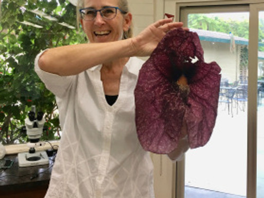 Review of Lesley Randall's Aristolochiaceae Workshop, May 10 – 12, 2018