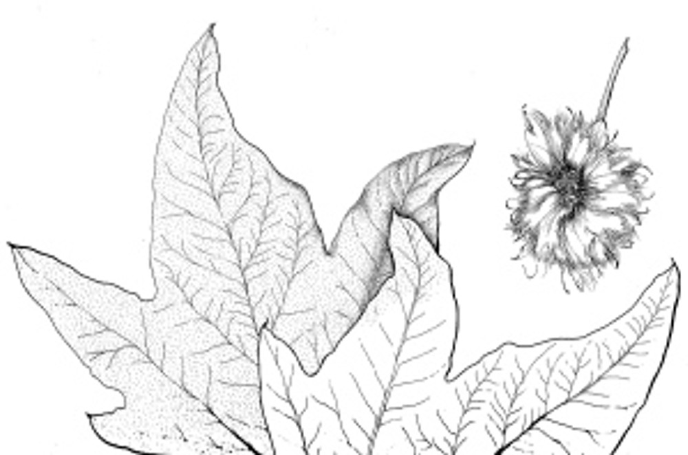 Part of a Western Sycamore by Estelle DeRidder, pen and ink, © 2012