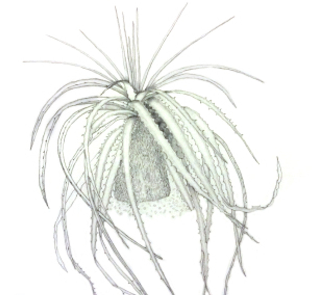 Hechtia argentea by Leslie Walker, © 2018. Partial image (cropped) of artwork, taken with an iPad.